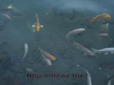 Ikan Berenang di Umbul